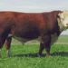 American Beef: How the Polled Hereford Came to America